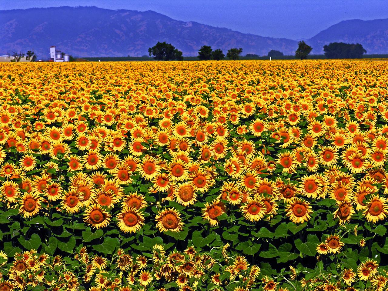 Sunflower Sea - Davis, CA