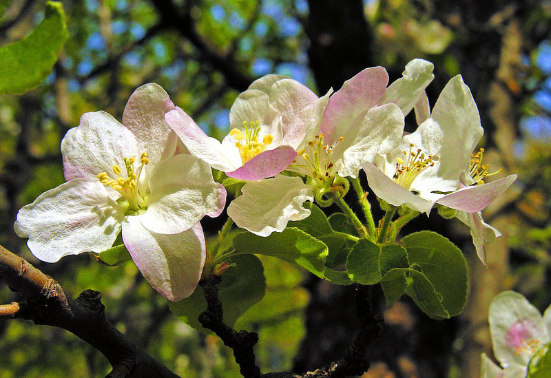 Apple Blossom Splendor