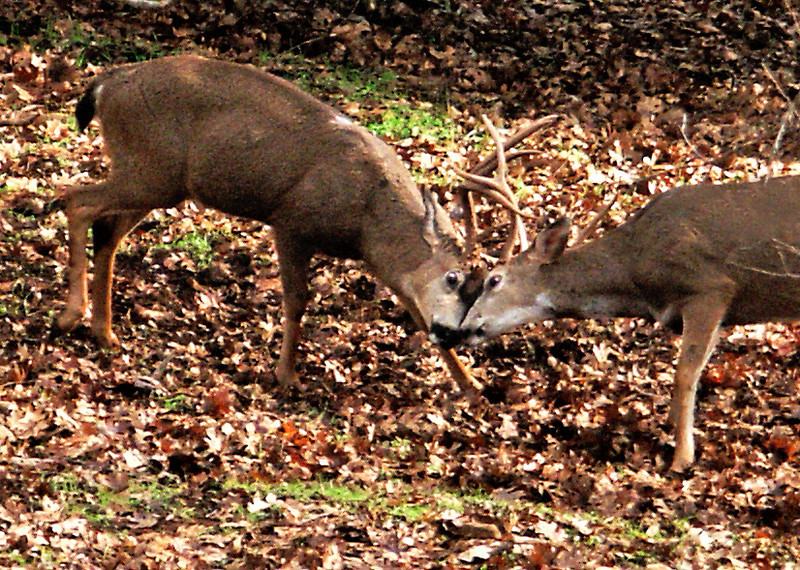 Battlin Backyard Bucks Series - #6 - Eye to Eye