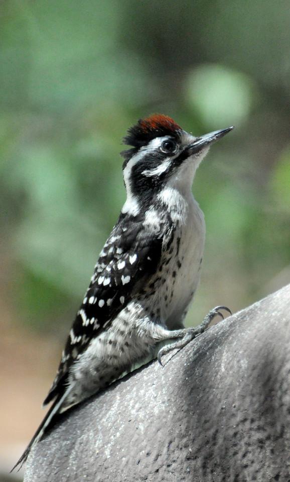 Male Nuttall Woodpecker