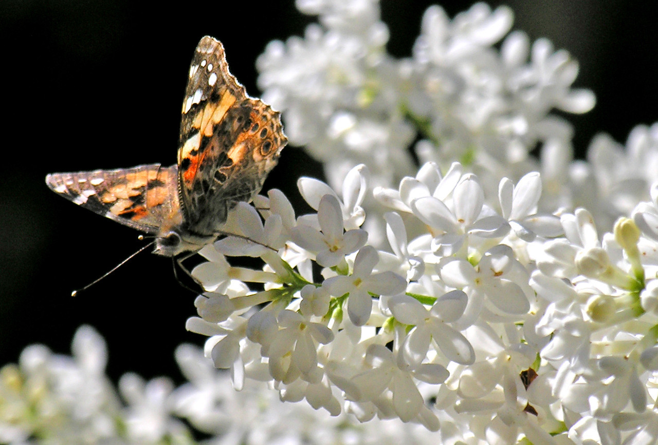 Painted Lady on White Lilac