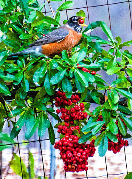 Cedar Waxwing with Pyracantha Berry