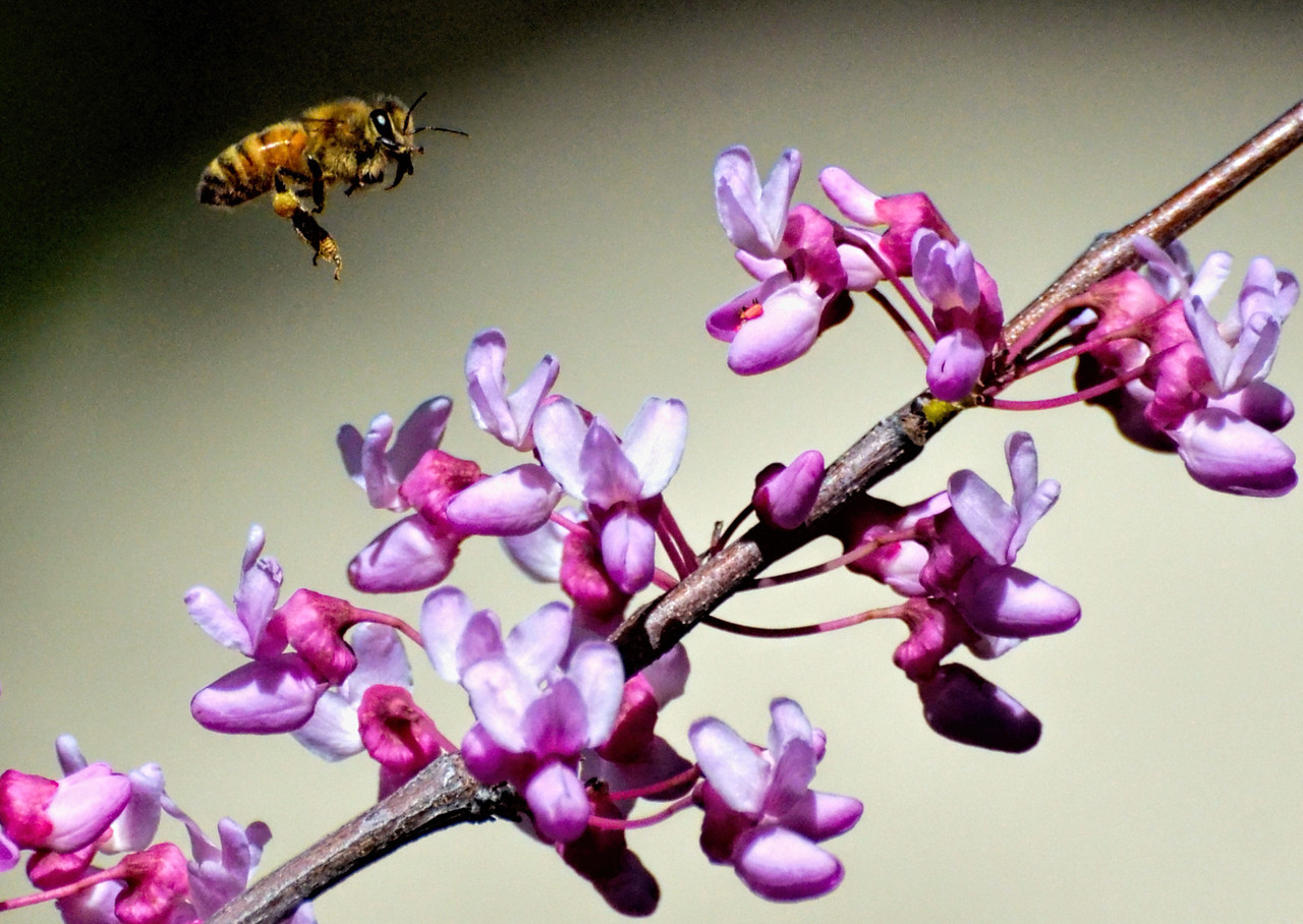 Honey Bee and Redbud