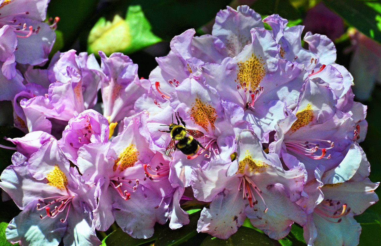 Bumble Bee on Rhododendron Blossoms