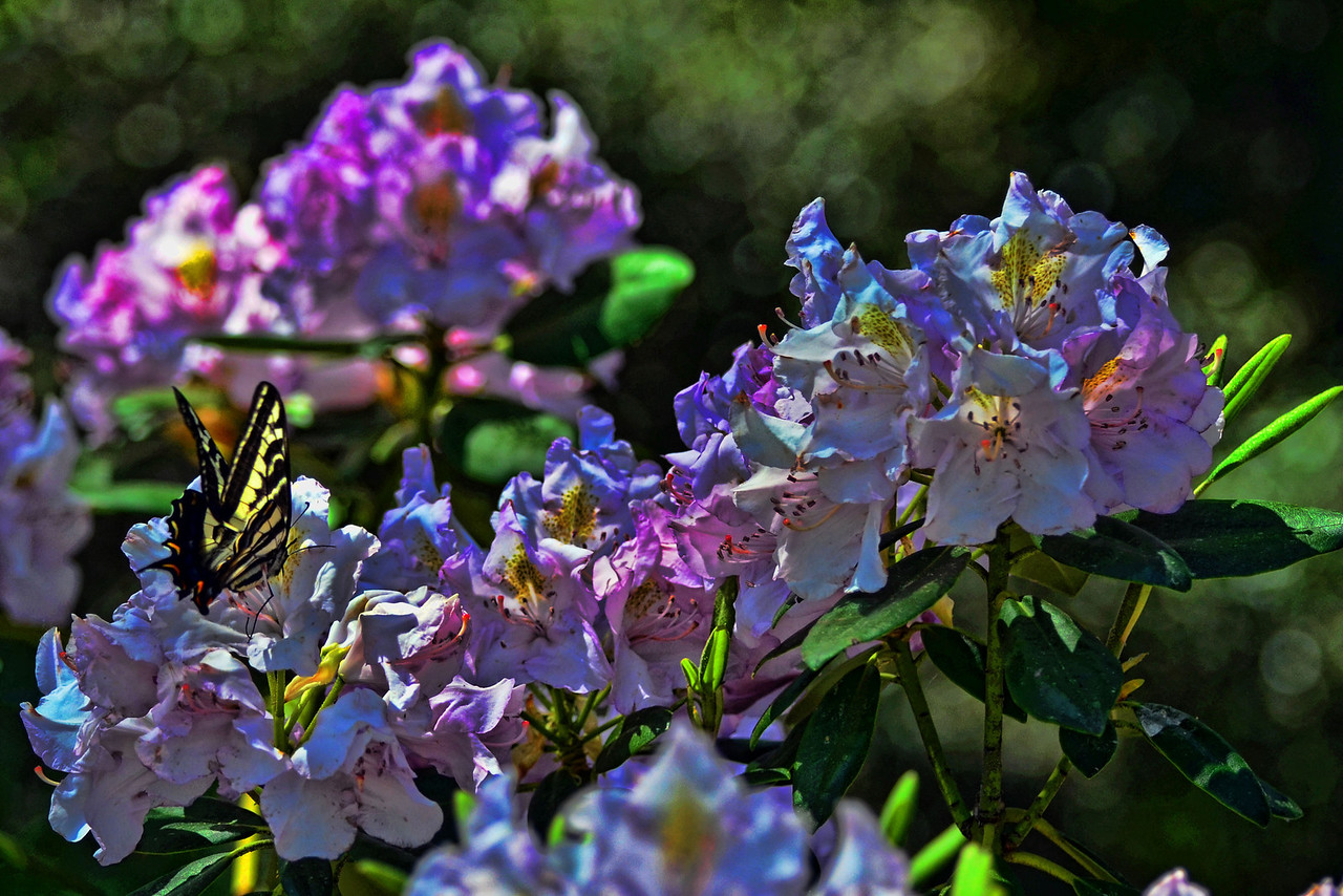 Swallowtail on Rhododendron