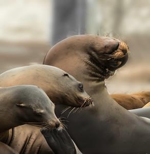 Harbor seals III Moss Landing