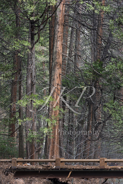Yoesmite National Park's Forest beside a wooden bridge