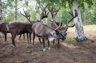 University of Alaska Cooperative Extension Robert White Large Animal Research Station Reindeer