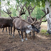 University of Alaska Cooperative Extension<br /> Robert White Large Animal Research Station<br /> Reindeer