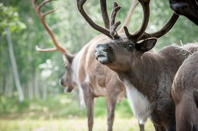 University of Alaska Cooperative Extension Robert White Large Animal Research Station Reindeer