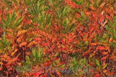 Sumac in Fall Foliage