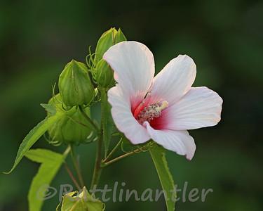 Swamp Mallow Rose