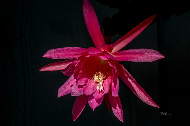 The  taking of Epiphyllum 123