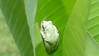 A tree frog, wide awake now, on a banana leaf in the backyard.
