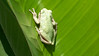 A tree frog, now annoyed with me, is starting to move on a banana tree leaf in the backyard.  Aug., 2008