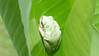 Pale green, almost pearlescent, tree frog on a banana tree leaf in the backyard.  Aug., 2008