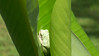 A tree frog who was sleeping in a curled up banana tree leaf in backyard.  Aug., 2008