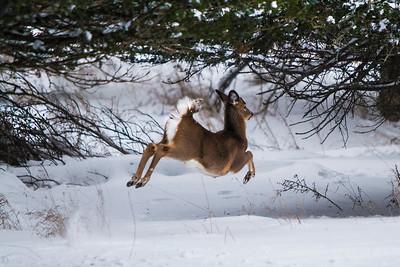 Deer - 008