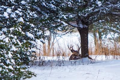 Deer - 002