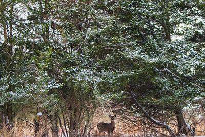 Deer - 010