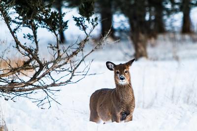 Deer - 009
