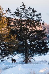 Deer - 012