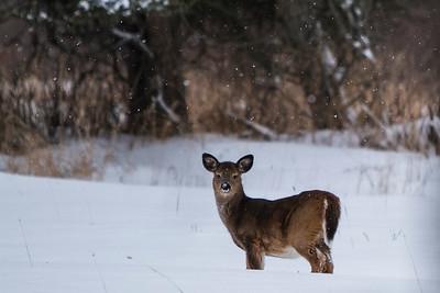 Deer - 007