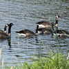 Canadian Geese along the Yakima River