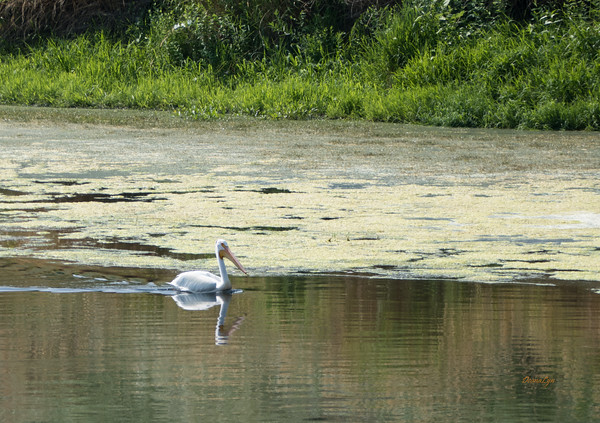 White Pelicans along the Yakima River