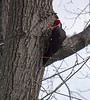 Pileated Woodpecker (Dryocopus pileatus) March 3, 2013<br /> <br /> A true surprise in our oak tree, not in the country but in town, in our front yard, pecking away on an oak tree in our front yard.  Truely magnificent.