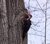 Pileated Woodpecker (Dryocopus pileatus) March 3, 2013