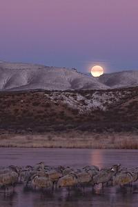 Waking cranes, setting moon