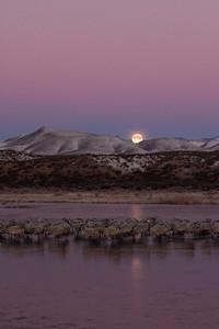 Setting moon, sleeping cranes