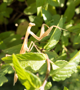 Praying Mantis in the Mint