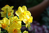 Powell Gardens<br /> 30 miles east of Kansas City, Missouri<br /> Narcissus