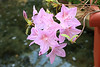 Powell Gardens<br /> 30 miles east of Kansas City, Missouri<br /> Azalea Poukhanense