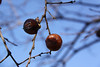 Powell Gardens Nov. 1, 2009<br /> Persimmons waiting for a hard frost