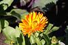 Powell Gardens Nov. 1, 2009<br /> Calendula and a visiting bee