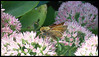 A Sachem, or another variety of Skipper butterfly, has discovered the delights of an Autumn Joy sedum, or stonecrop. There are a wide variety of skippers found in the midwest. Sept. 18, 2008