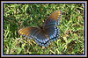 A male,  red-spotted purple butterfly, Basilarchia arthemis astyanax, a common Missouri butterfly was out getting moisture from the heavy dew. Adults frequent mud puddles and wet spots, like tree sap and decaying fruit.  The adults are found May into October. Sept. 17, 2008