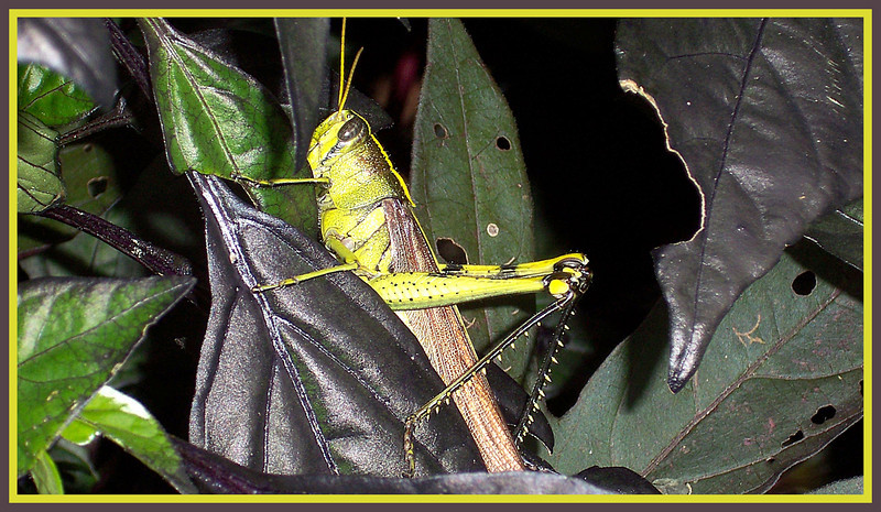 A large grasshopper displaying an almost fluorescent chartreuse color on his legs, head and, slightly visible, stripe down his back.  As evidenced by the leaf on the right, he's been helping him, or her, self to the Pearl, black pepper leaves.  Powell Gardens, midway between Kansas City and Warrensburg, MO., highway 50.  Oct. 24, 2008