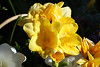 Powell Gardens<br /> 30 miles east of Kansas City, Missouri<br /> Freesia