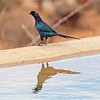 Bristle-crowned Starling, Namunyak Conservancy