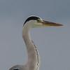 Good morning heron