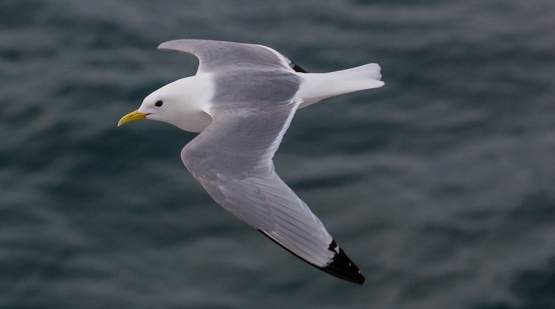 Black Legged Kittiwake