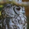 Vermiculated Eagle Owl