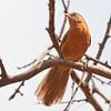 Rufous chatterer, Namunyak Conservancy