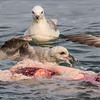 Fulmars feeding on discarded narwhal meat