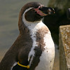 Penguin, Marwell Zoo