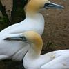 Gannet - Amsterdam Zoo